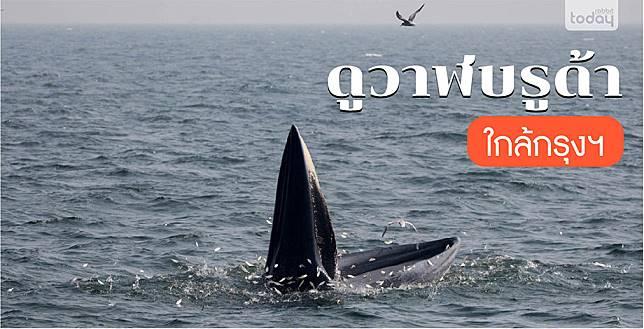 ดูวาฬบรูด้าที่สมุทรสาคร
