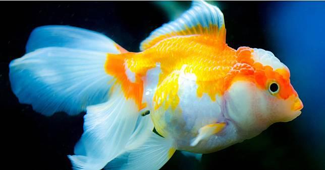 Rekomendasi Ikan Hias Air Tawar Yang Menarik Dan Mudah Dipelihara Anak