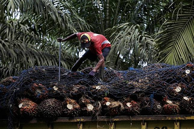A worker arranges fruit on a truck at an oil palm plantation in Pangkalan Bun, Central Kalimantan.