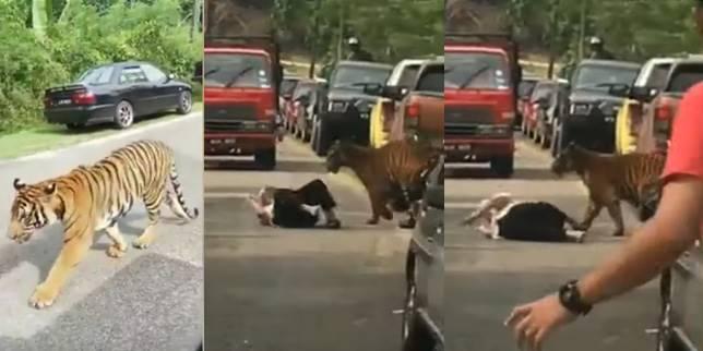 Warga lansia itu hanya bisa guling-guling saat harimau menghampirinya. (Foto: Cuplikan Video Youtube)