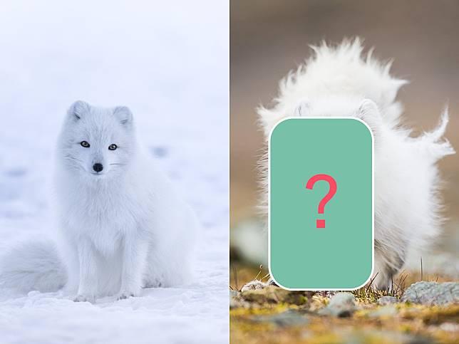北極狐雪地中佇足超夢幻 萬萬沒想到換毛期尷尬到爆!