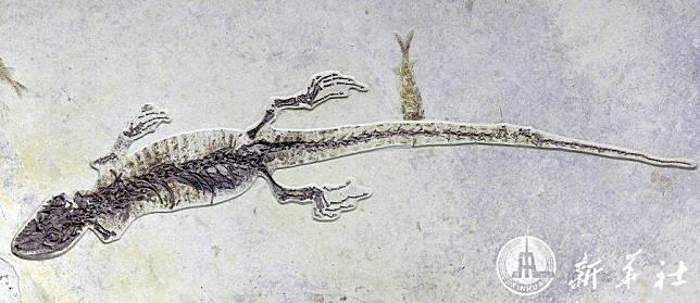 หลักฐานใหม่! จีนพบฟอสซิลกิ้งก่าราวอายุ 100 ล้านปี พร้อมซากกุ้งในกระเพาะ