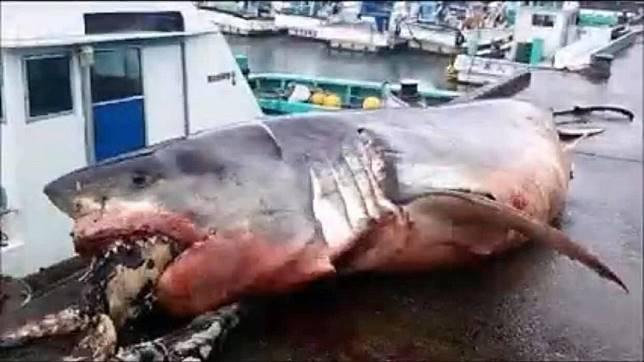 日本外海最近捕獲到一隻大白鯊,但牠被發現時已經明顯死亡。(圖/翻攝自臉書)