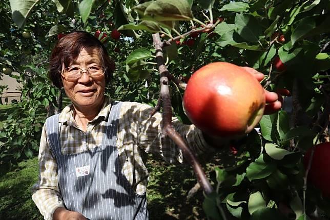 園主話蘋果受光愈多,會愈紅愈甜,蘋果表面有粒粒微凸感,就甜上加甜。(劉達衡攝)