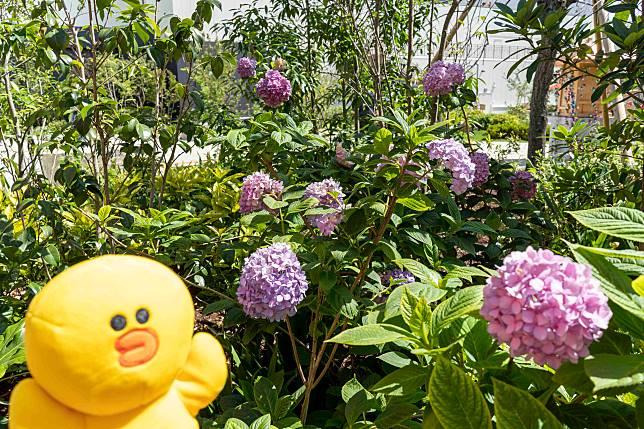 園內也有繡球花!