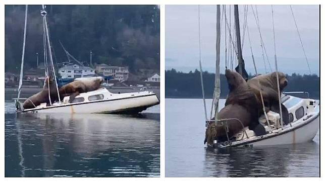 Viral VIDEO, Sepasang Singa Laut Besar Mengambil Alih Kapal dan Bersantai di Atasnya