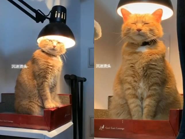 橘貓鑽入燈罩下瞇眼打盹 網笑翻:莫非在電頭毛?