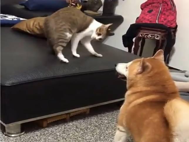 影/崩壞了!狗狗冷眼看貓咪打醉拳 柴犬:你耍完了沒?