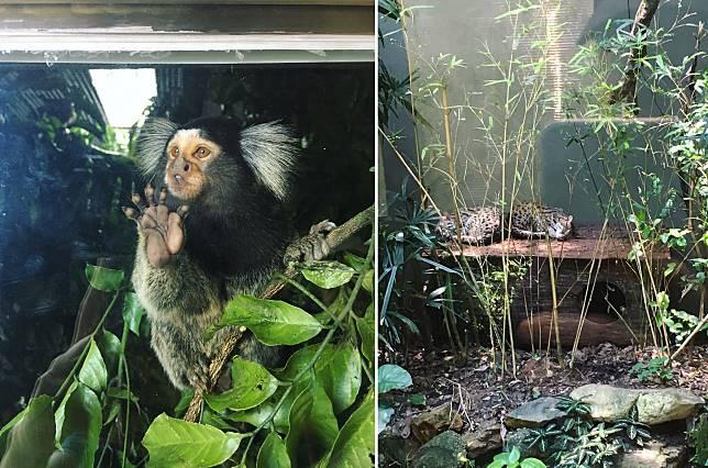(左)甫一進入農場右邊素食亭旁的映日園動物展覽館,可見4隻活潑好動的狨猴。牠們的父母在2017年從南美洲被非法販賣到港,後經執法人員充公後安置到園內暫住時誕下牠們;(右)豹貓經常淪為黑市的貿易品,在本港及國際間均為高度受保護動物,如今在園內受呵護,得以懶洋洋地安心午睡。