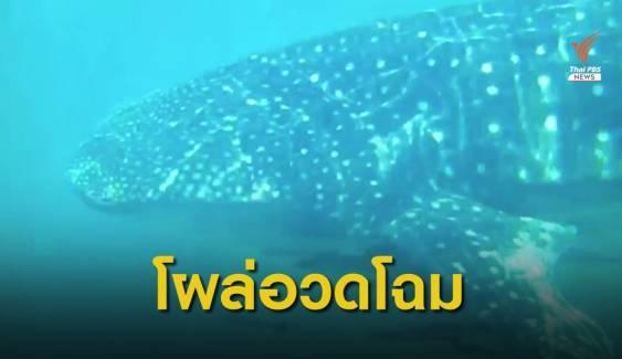 ฉลามวาฬ 4 เมตร ว่ายอวดโฉมข้างเรือที่เกาะลันตา