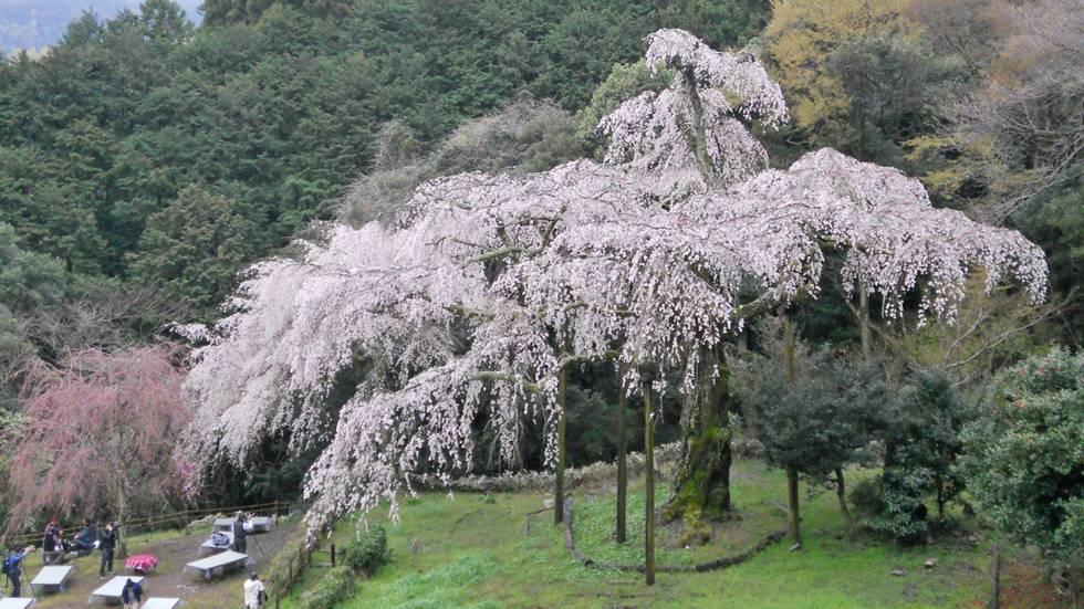 Mengenal Jenis Jenis Bunga Sakura Bunga Kebanggaan Negara Jepang Japanese Station Line Today