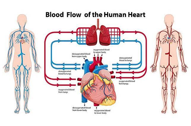Cara Menjaga Organ Peredaran Darah Agar Tetap Sehat Cianjurtoday Com Line Today