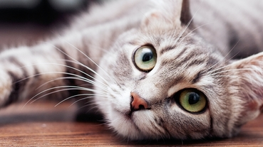單身無法領養貓?有沒有在日本養寵物超級難的八卦