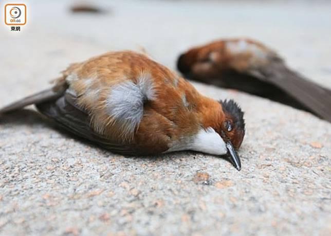 不少市民在各區發現雀鳥屍體,擔心是受催淚氣體影響所致。