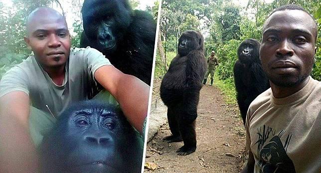 Pose unik gorila dengan para manusia penjaga taman nasional.