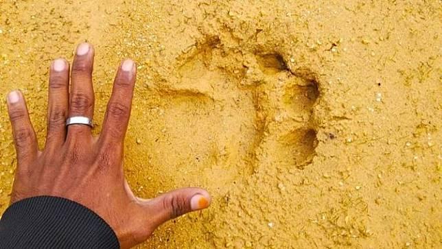 Jejak harimau sumatra yang ditemukan masyarakat di Desa Karya Indah, Kabupaten Kampar.