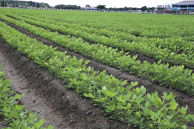 花生主要產地雲彰嘉,目前已進入二期採收,農糧署呼籲花生業者把握產期,以合理價格收購花生,創造業者與農民雙贏。圖/農委會提供。