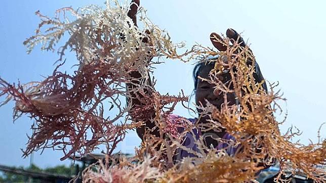 Seorang ibu menjemur rumput laut di Pulau Panggang, Kepulauan Seribu, Jakarta, Rabu, 18 September 2019. Rumput laut menjadi mata penghasilan tambahan bagi warga di pulau tersebut. TEMPO/Tony Hartawan