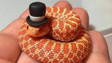 給家裡的蛇蛇戴上小帽子 簡直要萌翻了!