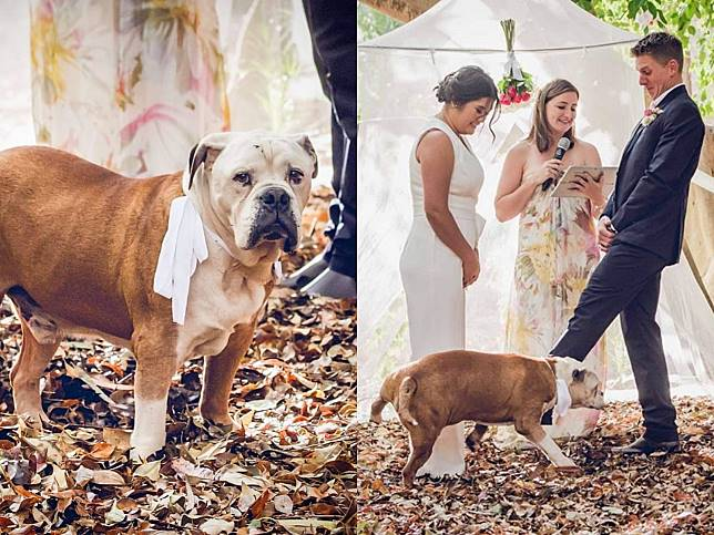 愛犬當首席伴郎 新娘說我願意前卻抬腿宣示主權:她是我的!