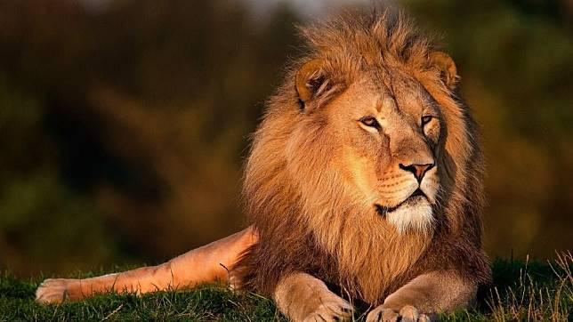 Bukan Singa, Siapa Kucing Besar Terbesar di Alam Liar?