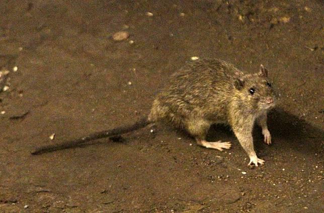 ▲近日蒙古地区传出多起鼠疫的确认和疑似病例。 示意图。 (图/美联社/达志影像)