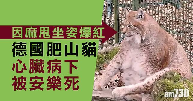 【麻甩坐姿爆紅】重48公斤 德國肥山貓安樂死