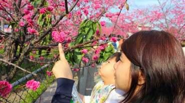 2020泰安櫻花季-台中后里泰安櫻花季櫻花已經滿開 白天晚上都可賞櫻