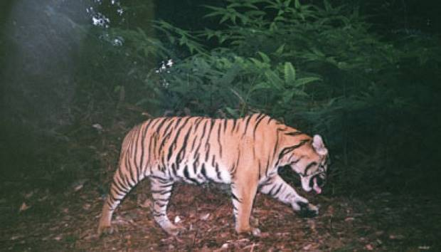 Forest Fires Drive Sumatran tiger Out of Their Habitats