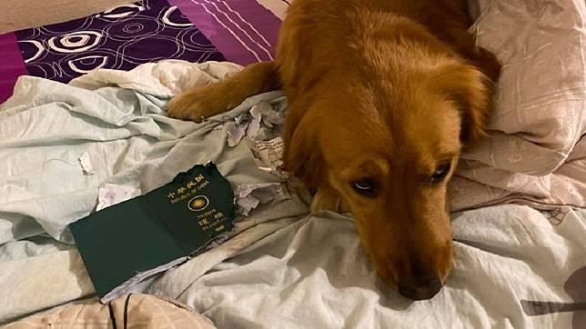 1名部落客原本要到武漢出遊,沒想到行前發現自己的護照被飼養的黃金獵犬咬爛了。(圖/翻攝自「金毛愛旅行の視角」臉書粉絲團)