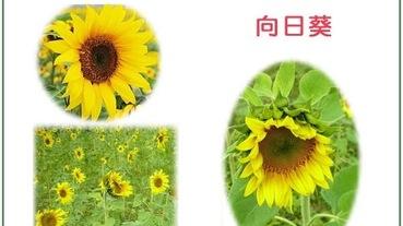 夏天花卉種植推薦:向日葵、滿天星、薰衣草!加碼超簡單插花教學