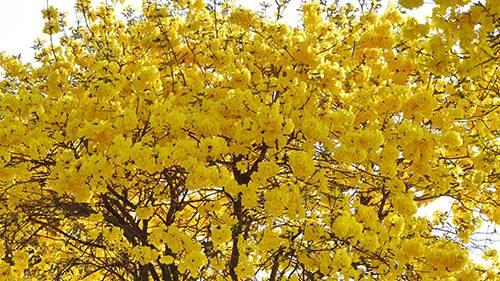 ชวนเก็บภาพดอกเหลืองเชียงรายบานบนเลียบคลอง13