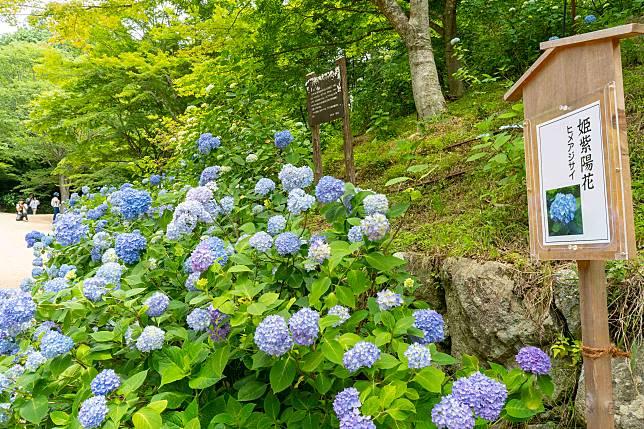 日本稱繡球花為紫陽花(あじさい / アジサイ),聽說其顏色與土壤酸鹼度有關,園內的大部分都是藍色系。