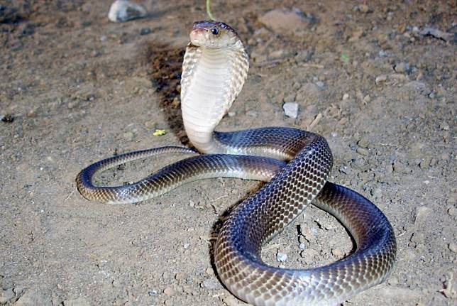 Ready to attack: A spitting cobra positions itself to spit and strike if necessary.