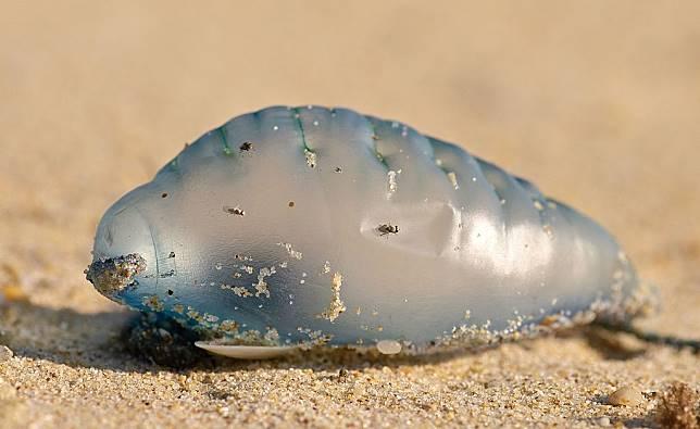 Terlihat Seperti Balon, Ternyata Ini Hewan Laut yang Berbahaya, lo