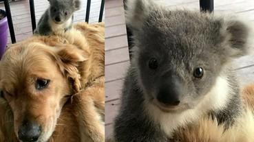 融化了!澳洲超暖黃金獵犬私帶無尾熊寶寶回家