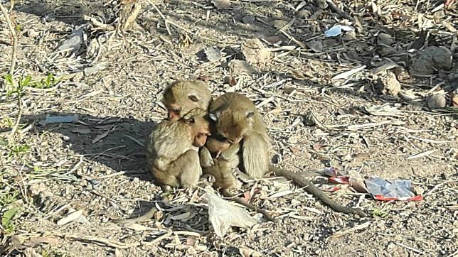 ยโสธรฝูงลิงกังหางยาวกว่า 1 พันตัวออกมาอาบแดดบรรเทาความหนาวเย็น