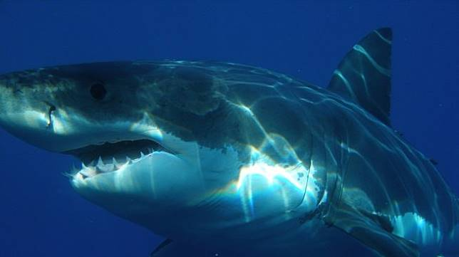 Ilustrasi hiu putih. (Pixabay/Skeeze)