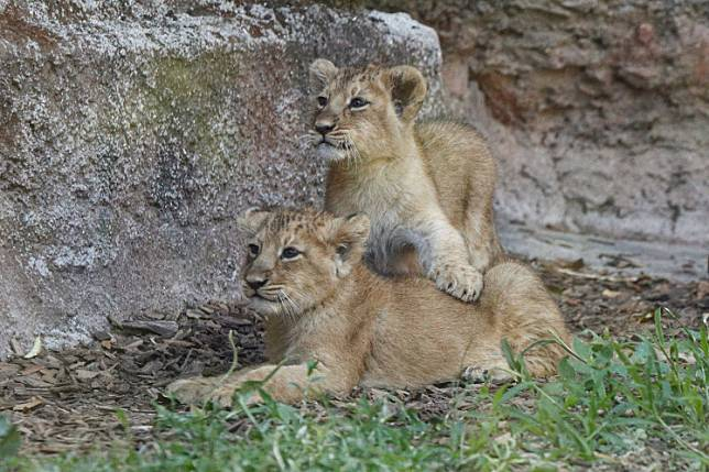Two female Asiatic lion cubs which were born during the coronavirus disease (COVID-19) lockdown are seen inside their enclosure at the Bioparco zoo in Rome, Italy, on July 9, 2020.