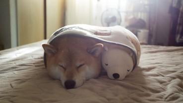 最喜歡和娃娃一起冬眠的柴犬 可愛模樣融化你的心!