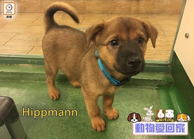 Hippmann的褐色身體夾雜了灰黑的毛,樣子帶點憂愁的牠是個既活潑又親人的小伙子。(愛協提供)