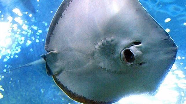 Download 66+ Mewarnai Gambar Ikan Pari HD Terbaik