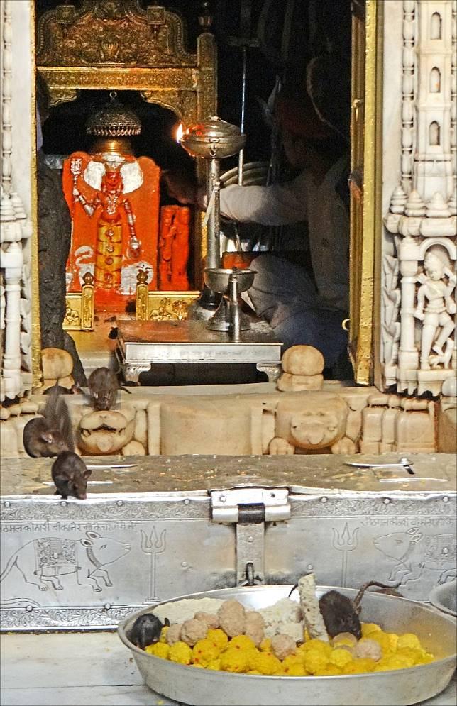 印度拉賈斯坦邦的Karni Mata,又名老鼠廟,是超過2萬隻老鼠的「安樂窩」。(互聯網)