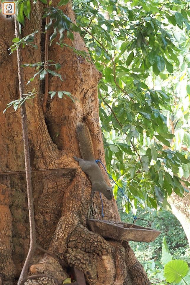 店旁邊的大樹有一隻松鼠,店主設置了一個架和碟放一些餵養牠的食物,時不時出來偷吃非常可愛。(馮子伊攝)