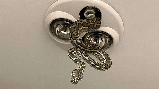 Anak-anak itu melihat ular menjuntai dari langit-langit kamar mandi