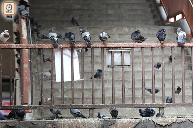 北角糖水街天橋的欄杆布滿雀糞。