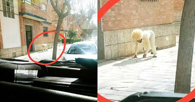 就是要出門!西班牙男偽裝「一隻狗」街上趴趴走…路人看傻眼