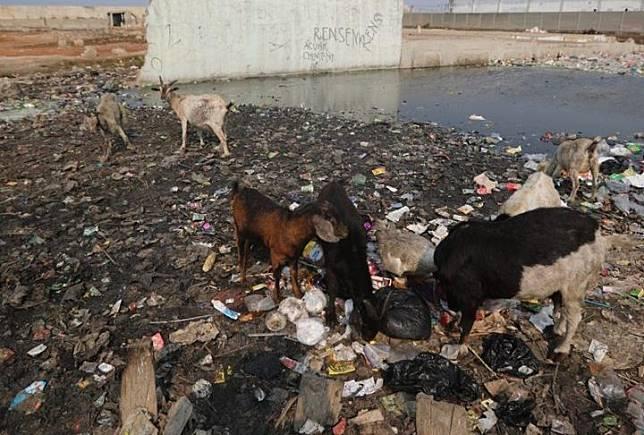 Kambing mencari makan di antara tumpukan sampah di Kampung Bengek di kawasan Muara Baru, Penjaringan, Jakarta Utara, Senin (2/9/2019).