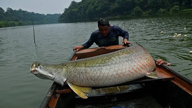 Unduh 6100 Gambar Ikan Haruan Paling Besar HD Terpopuler