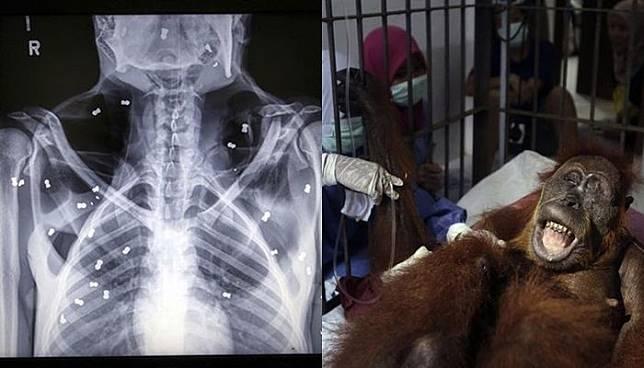 Miris! Nasib Orangutan yang Dihujani 74 Peluru di Tubuhnya Terancam Buta Permanen